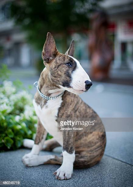 little bull terrier - bull terrier stock pictures, royalty-free photos & images