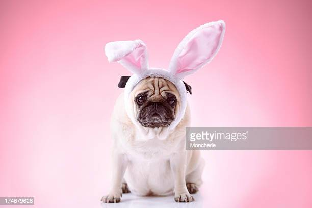 Little bunny styled pug on pink background