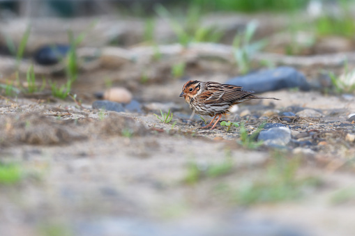 A Little Bunting - gettyimageskorea