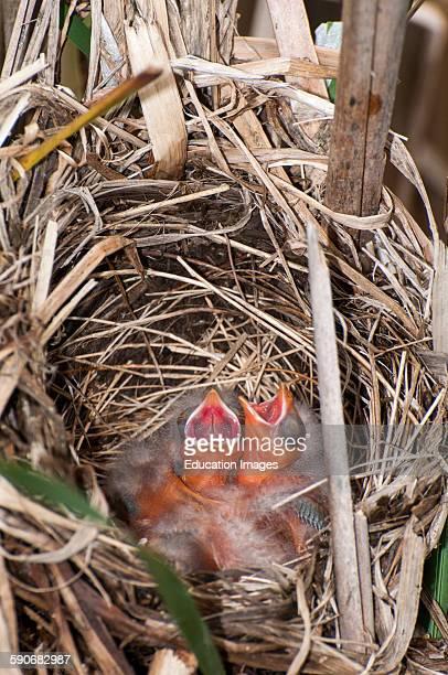 Little Canada Minnesota Redwinged Blackbird Agelaius phoeniceus Nest full of brand new baby hatchlings begging for food