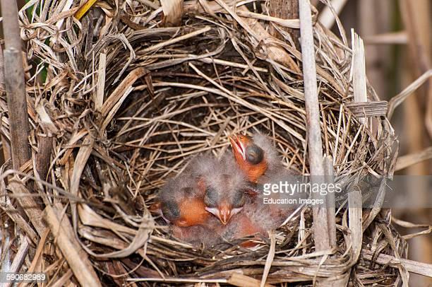 Little Canada Minnesota Redwinged Blackbird Agelaius phoeniceus Nest full of brand new baby hatchlings