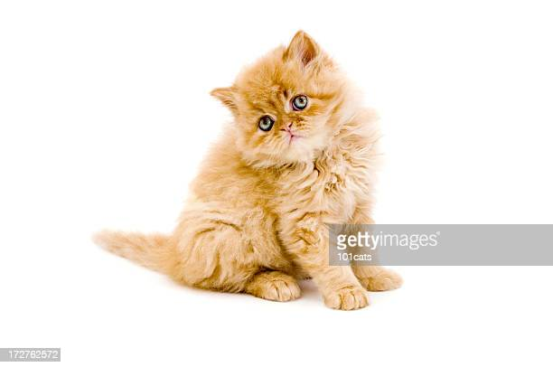little cat and iguana - persian stock photos and pictures