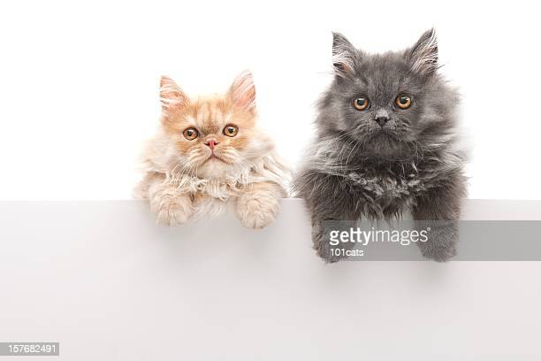 little cats - persian cat stock pictures, royalty-free photos & images