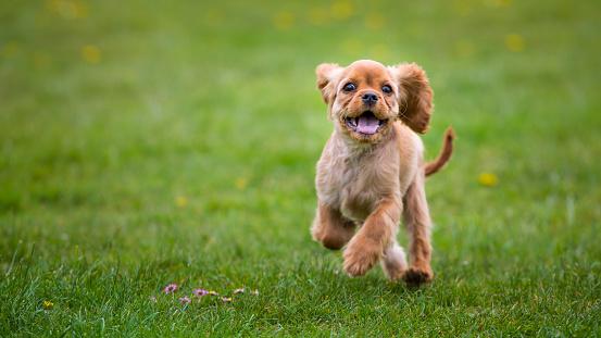 Little cavalier king charles spaniel puppy running outside 801073258