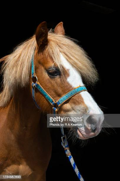 little chestnut pony in a head collar - small stock pictures, royalty-free photos & images