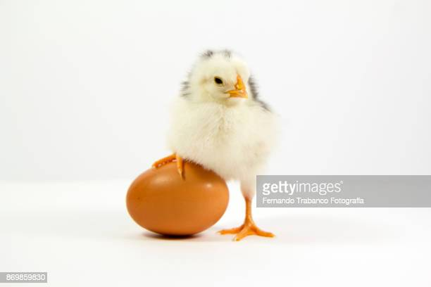 little chick and his brother inside the egg - animal egg stock pictures, royalty-free photos & images