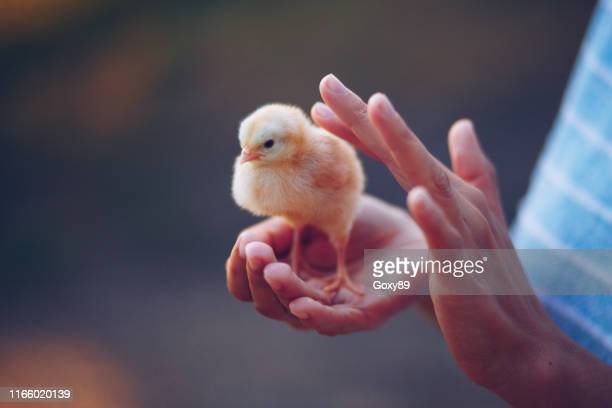 little chick bird in hands - animal body part stock pictures, royalty-free photos & images