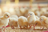 Little chicken feeding at the farm