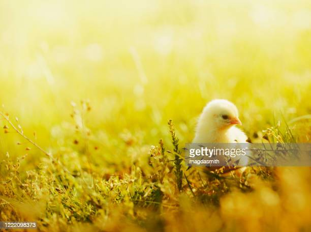 little chicken walking in grass - magdasmith stock pictures, royalty-free photos & images