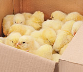 http://www.istockphoto.com/photo/little-chickens-in-a-box-gm667165198-121705931
