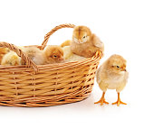 http://www.istockphoto.com/photo/little-chickens-in-the-basket-gm903413260-249166381