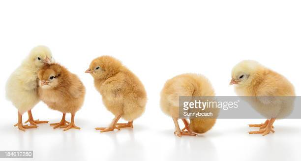 Little chickens