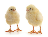 http://www.istockphoto.com/photo/little-chickens-gm672361814-123125331