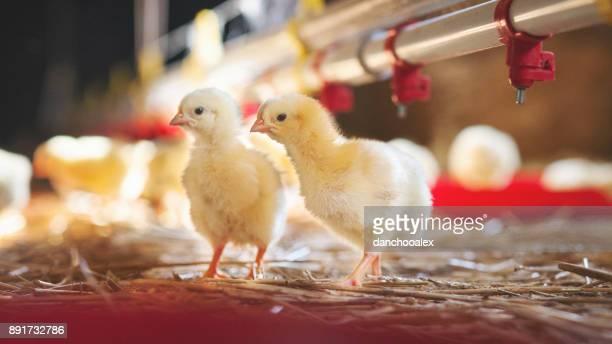 小さな「chicks 」でファームフィーディング
