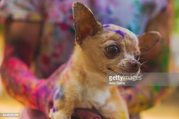 Little Chihuahua dog covered with colorful Gulal powder during a Holi party to give welcome to the springtime during a sunday family reunion.