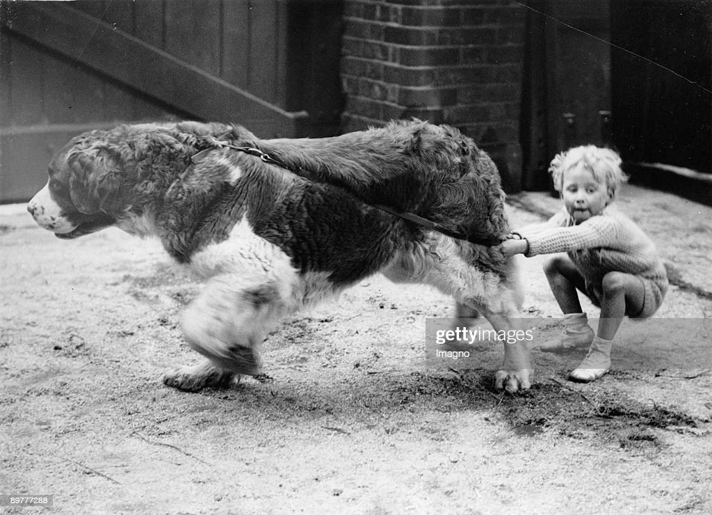 A little child is straining at the leash of a Saint Bernard. Photograph. Around 1930.