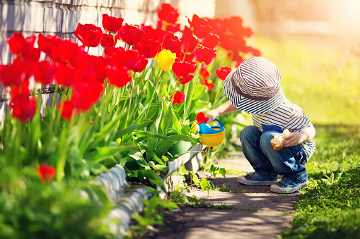 Little child walking near tulips on the flower bed in beautiful spring day 912923436