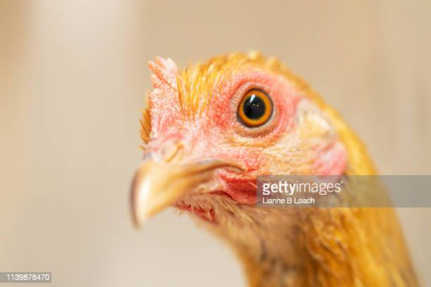 little chook - lianne loach stock pictures, royalty-free photos & images