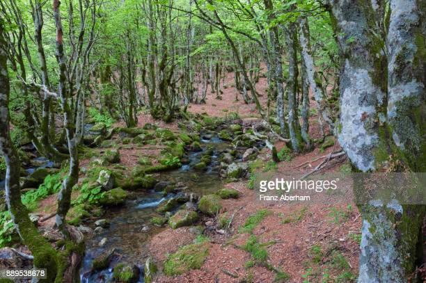 Little creek in forest, summer time Cèvennes National Park, Gard, France