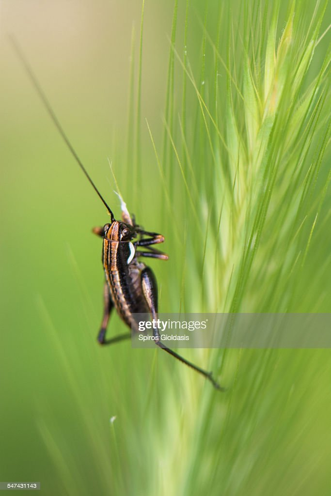 Little cricket : Foto de stock