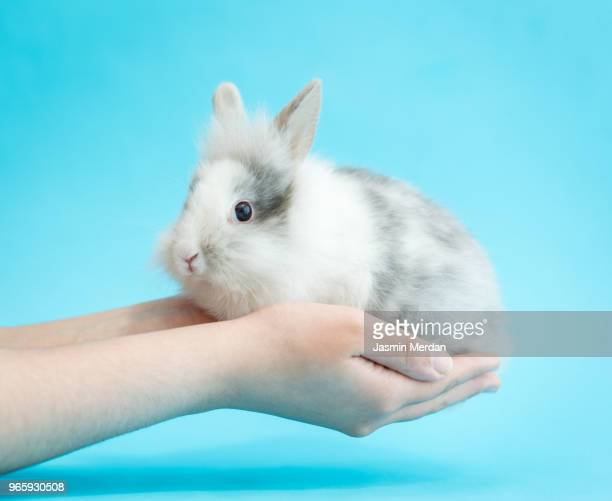 little cute rabbit in hands - hairy girl stock pictures, royalty-free photos & images