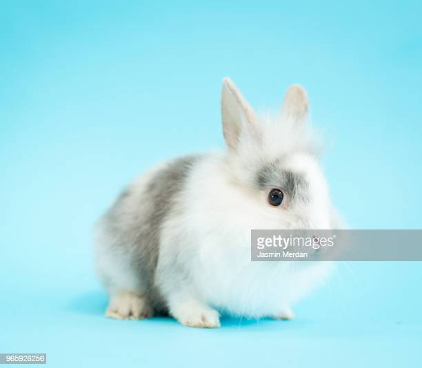 little cute rabbit - animal hair stock photos and pictures