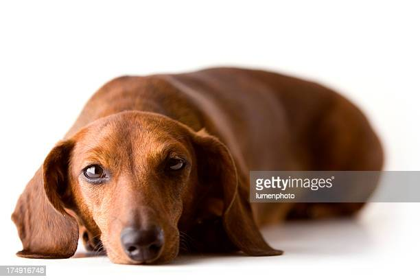 Little Dachshund I