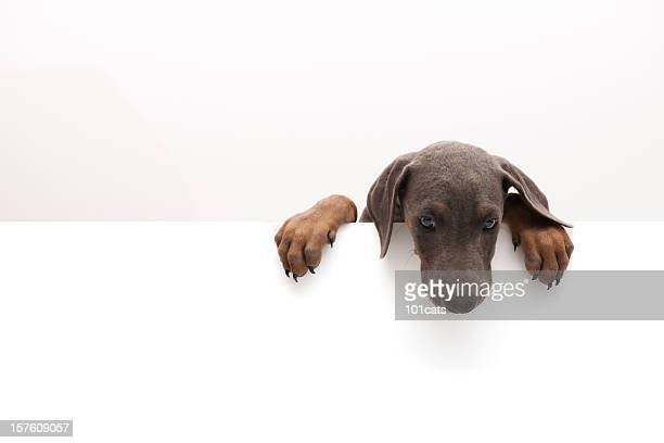 little doberman - paw stock pictures, royalty-free photos & images
