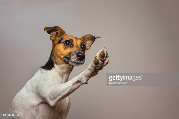 A Jack Russell Terrier with an inquisitive expression, giving a high-five. His paw raised in the air. The focus is on the dogs's face.