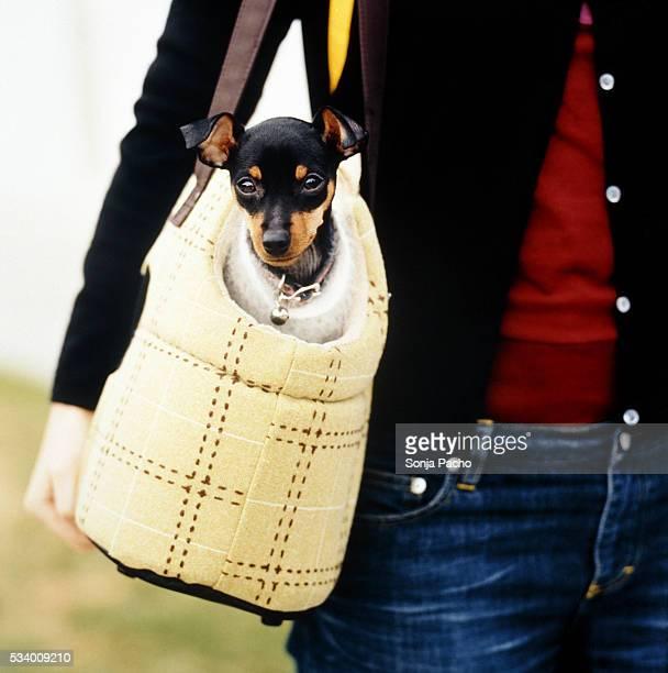 little dog in carrying bag - pinscher nano foto e immagini stock