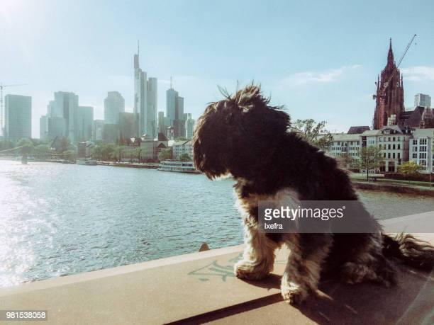 A little dog looking at the Frankfurt skyline in the background