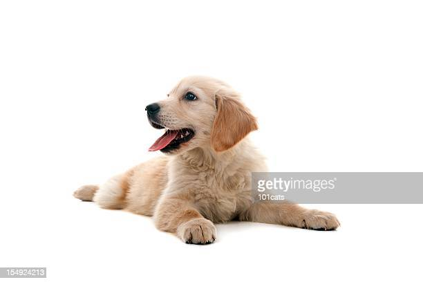 little dog - golden retriever stock pictures, royalty-free photos & images