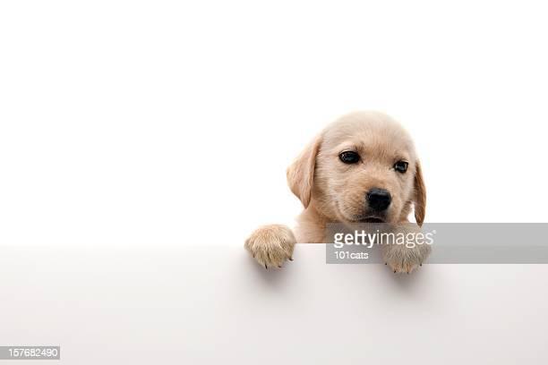 little dog - golden retriever fotografías e imágenes de stock
