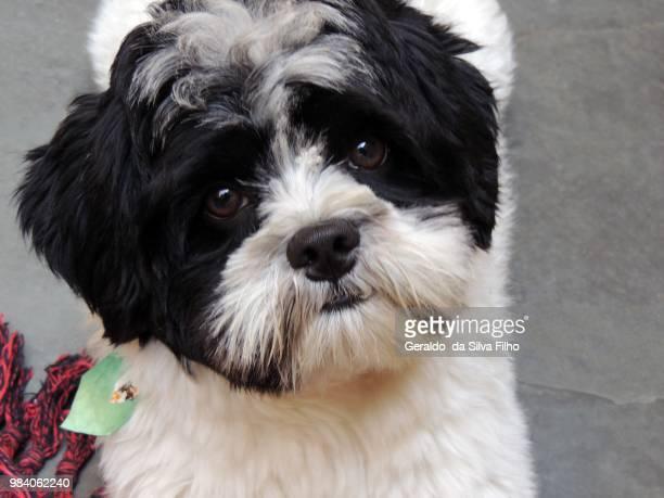 little dog - filho bildbanksfoton och bilder