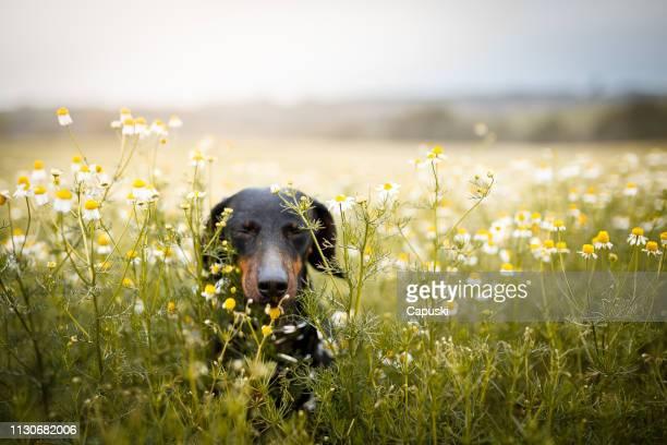 花の中で走る小さな犬 - 花粉 ストックフォトと画像