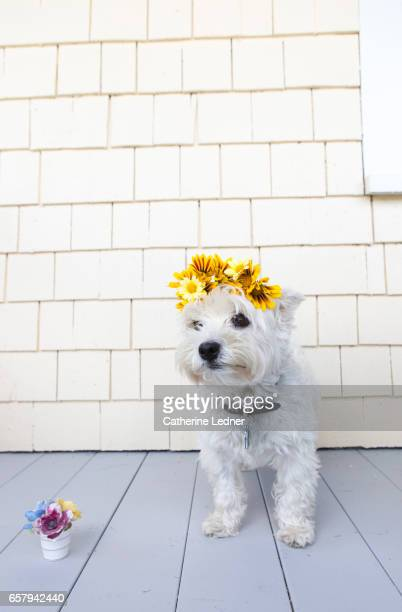 little dog with flower crown