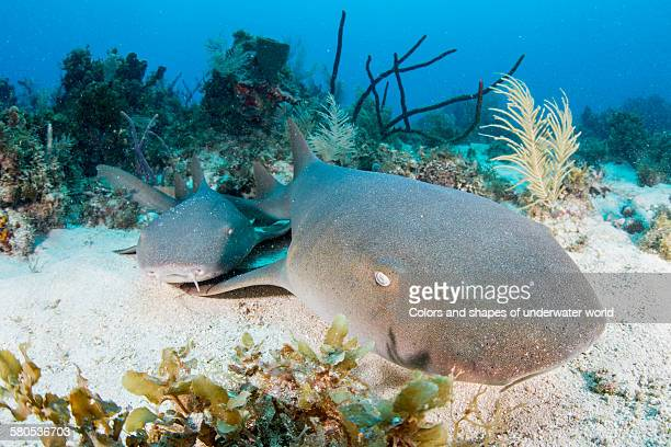 little dogs - nurse shark stock photos and pictures