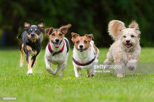 4 little dogs running in a row. - un animal fotografías e imágenes de stock