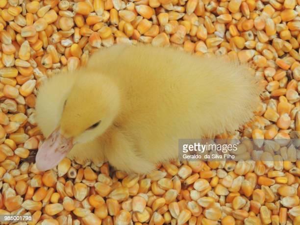 little duck - filho stock-fotos und bilder
