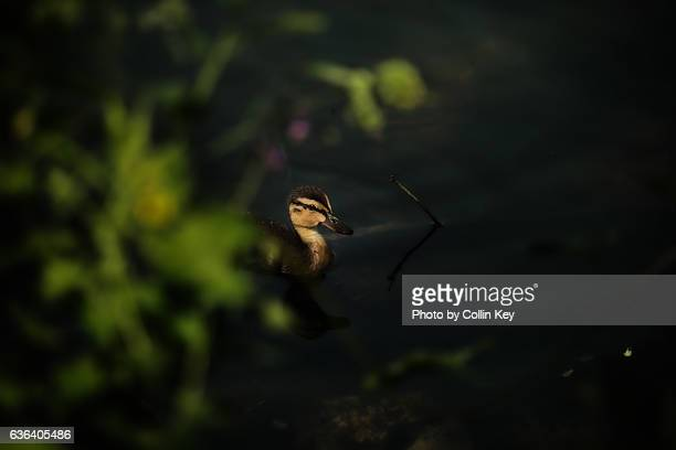 a little duckling appears from the shadows. - collin key stock-fotos und bilder