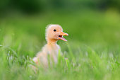 http://www.istockphoto.com/photo/little-duckling-on-green-grass-gm695237396-128511249