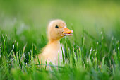 http://www.istockphoto.com/photo/little-duckling-on-green-grass-gm695237400-128511253