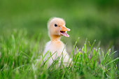 http://www.istockphoto.com/photo/little-duckling-on-green-grass-gm695237424-128511269