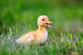 http://www.istockphoto.com/photo/little-duckling-on-green-grass-gm802008360-130012413
