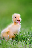 http://www.istockphoto.com/photo/little-duckling-on-green-grass-gm812647710-131438167