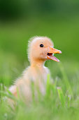 http://www.istockphoto.com/photo/little-duckling-on-green-grass-gm812647722-131438185