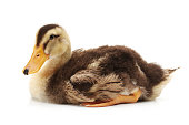 http://www.istockphoto.com/photo/little-ducks-on-white-background-gm900731850-248506095