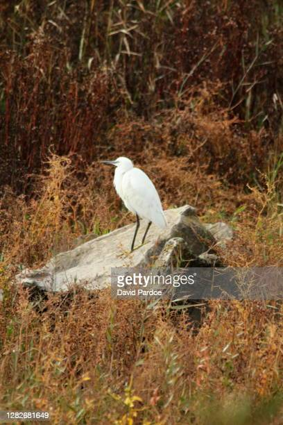 little egret at newport wetlands - newport wales stock pictures, royalty-free photos & images