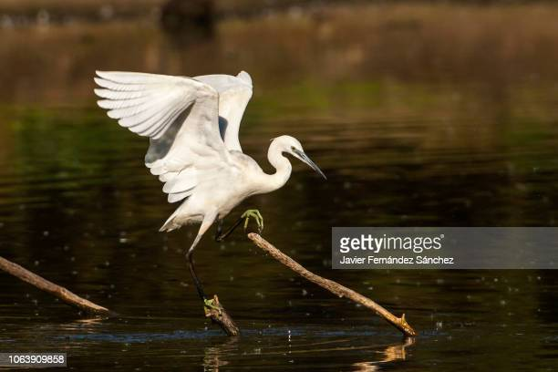 a little egret balances with open wings between branches that stick out in the marsh water. egretta garzetta. - ailes déployées photos et images de collection