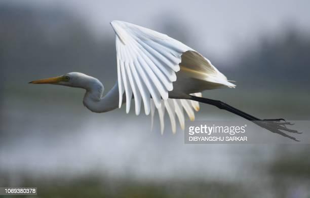 A little egret flies away at the Mangalajodi bird sanctuary around 65 kilometers south of Bhubaneswar on December 7 2018 The Mangalajodi wetland...